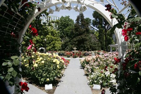 Of The Week World Peace Rose Garden At Capitol Park Sacramento Ca
